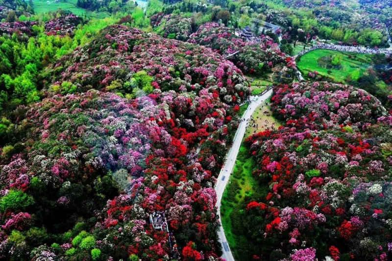 贵州毕节百里杜鹃景区,鲜花怒放如花海美景1