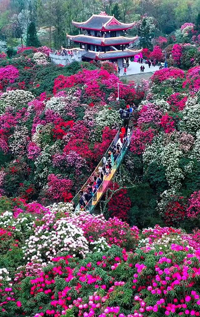 贵州毕节百里杜鹃景区,鲜花怒放如花海美景2