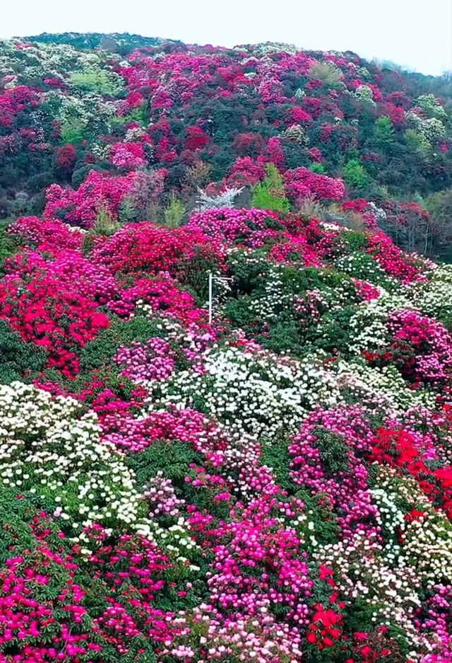 贵州毕节百里杜鹃景区,鲜花怒放如花海美景3