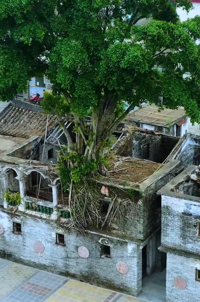 带你去看神奇的世界:广东开平一棵长在屋顶的百年大榕树