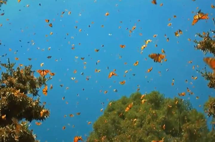 云南红河蝴蝶谷1.5亿只蝴蝶大爆发奇观1