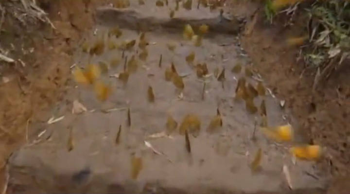 云南红河蝴蝶谷1.5亿只蝴蝶大爆发奇观2