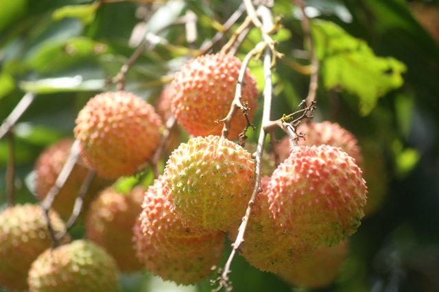 好吃的荔枝品种排名1、桂味荔枝