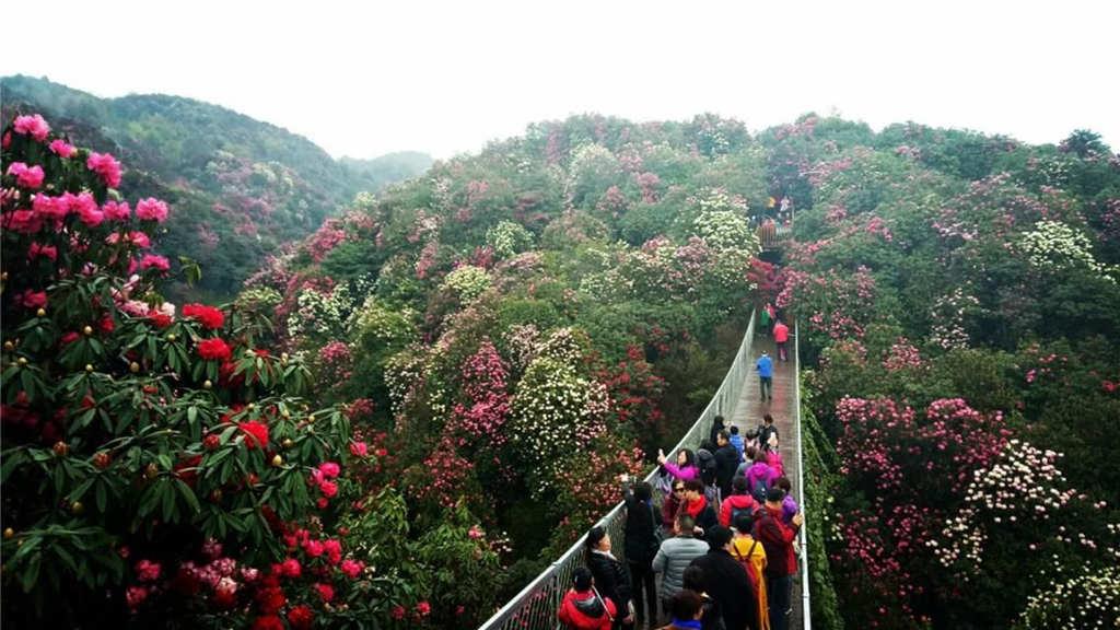 贵州5A级景区6:百里杜鹃风景区